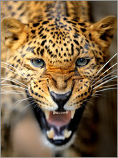 Poster Fuming Leopard