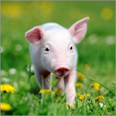 Premium poster Piglets in a meadow