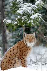 Premium poster Eurasian lynx in the forest