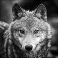 Premium poster Portrait of a wolf