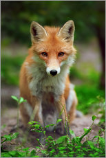 Premium poster  Fox in the countryside