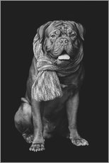 Wall sticker Dogue de Bordeaux with scarf