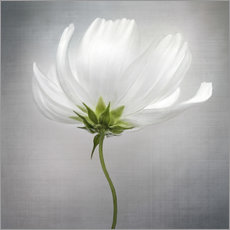 Acrylic print  Cosmos - Mandy Disher