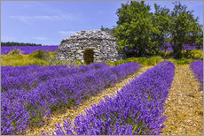 Poster  Stone hut in the lavender field - Jürgen Feuerer