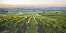 Wood print  Vineyards at sunrise, Lower Austria - Gerhard Wild