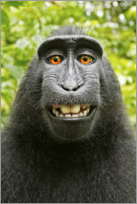 Canvas print  Monkey selfie I - David Slater