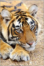 Gallery print  Resting King Tiger - Jagdeep Rajput