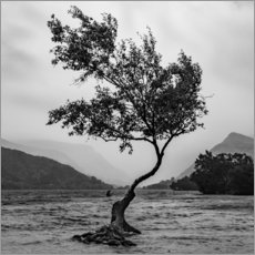 Gallery print  Lonely tree defies the weather - Markus Ulrich