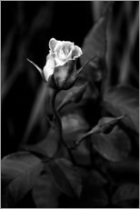 Premium poster Rose black and white