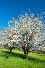 Foam board print  Blossoming cherry trees on the field - Peter Wey