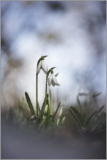 Premium poster Lovely snowdrops