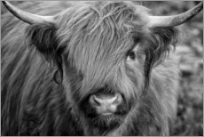 Premium poster Highlander - Scottish Highland Cattle black and white