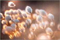 Premium poster  Cottongrass in the evening light - Julia Delgado