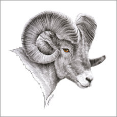 Canvas print  Bighorn ram drawing - EDrawings38