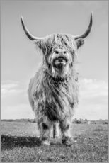 Premium poster Scottish highland cattle