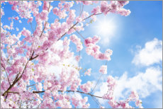 Premium poster  Pink cherry blossom in front of blue sky - Jan Christopher Becke