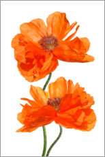 Acrylic print  Timeless poppy flowers II - blackpool