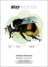 Acrylic print  Anatomy of the buff-tailed Bumblebee - Velozee