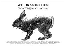 Canvas print  Anatomy of the wild rabbit - Velozee
