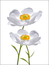 Foam board print  Timeless anemones - blackpool