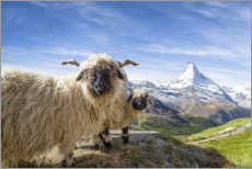 Premium poster Matterhorn with black-nosed sheep