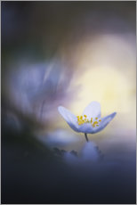 Foam board print  A wood anemone and it's darkside - Bob Daalder