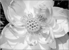 Gallery print  Lotus flower in black and white