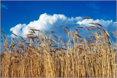 Premium poster  Barley field under blue sky