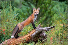 Acrylic print  Fox steals from a tree trunk