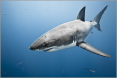Canvas print  Great White Shark II - nitrogenic