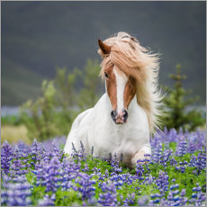 Premium poster  Glamorous Icelandic horse in lupine field