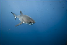 Premium poster Great white shark I