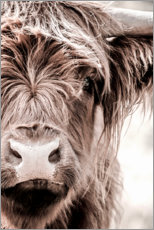 Canvas print  Scottish beef - Art Couture