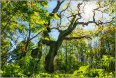 Aluminium print  Large oak tree in the Hainich National Park - Oliver Henze