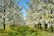 Gallery print  Cherry blossom in the Wetterau - Circumnavigation