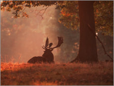 Premium poster  A Fallow deer stag rests in an autumn forest. - Alex Saberi