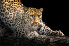 Acrylic print  Leopard in wait - Friedhelm Peters