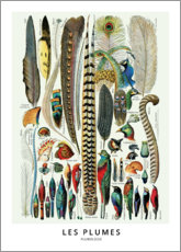 Gallery print  Feathers (french) - Wunderkammer Collection