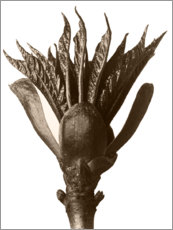 Wood print  Archetypes of Art 33 - Karl Blossfeldt
