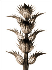 Wall sticker  Acanthus - Karl Blossfeldt
