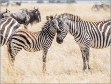 Premium poster Adults and young zebras