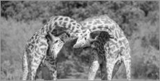 Acrylic print  Giraffes in the fight - Jaynes Gallery