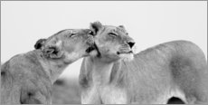 Acrylic print  Lionless together - Jaynes Gallery
