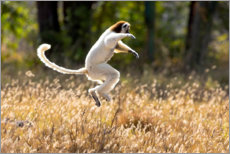 Aluminium print  Sifaka dances from place to place - Ellen B. Goff