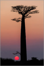 Wall sticker  Baobab trees in the morning sky - Ellen B. Goff