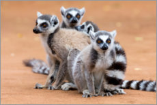 Canvas print  Lemurs are warming up - Ellen B. Goff