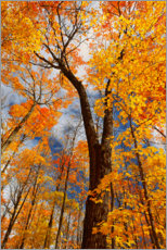 Premium poster  Sugar maple trees in autumn - Jaynes Gallery