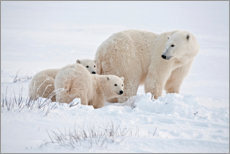Wall sticker  Polar bear mother and cubs - Jaynes Gallery