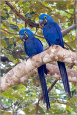 Gallery print  Hyacinth macaws in the tree - Ken Archer