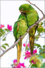 Gallery print  Parakeets while cuddling - Ken Archer